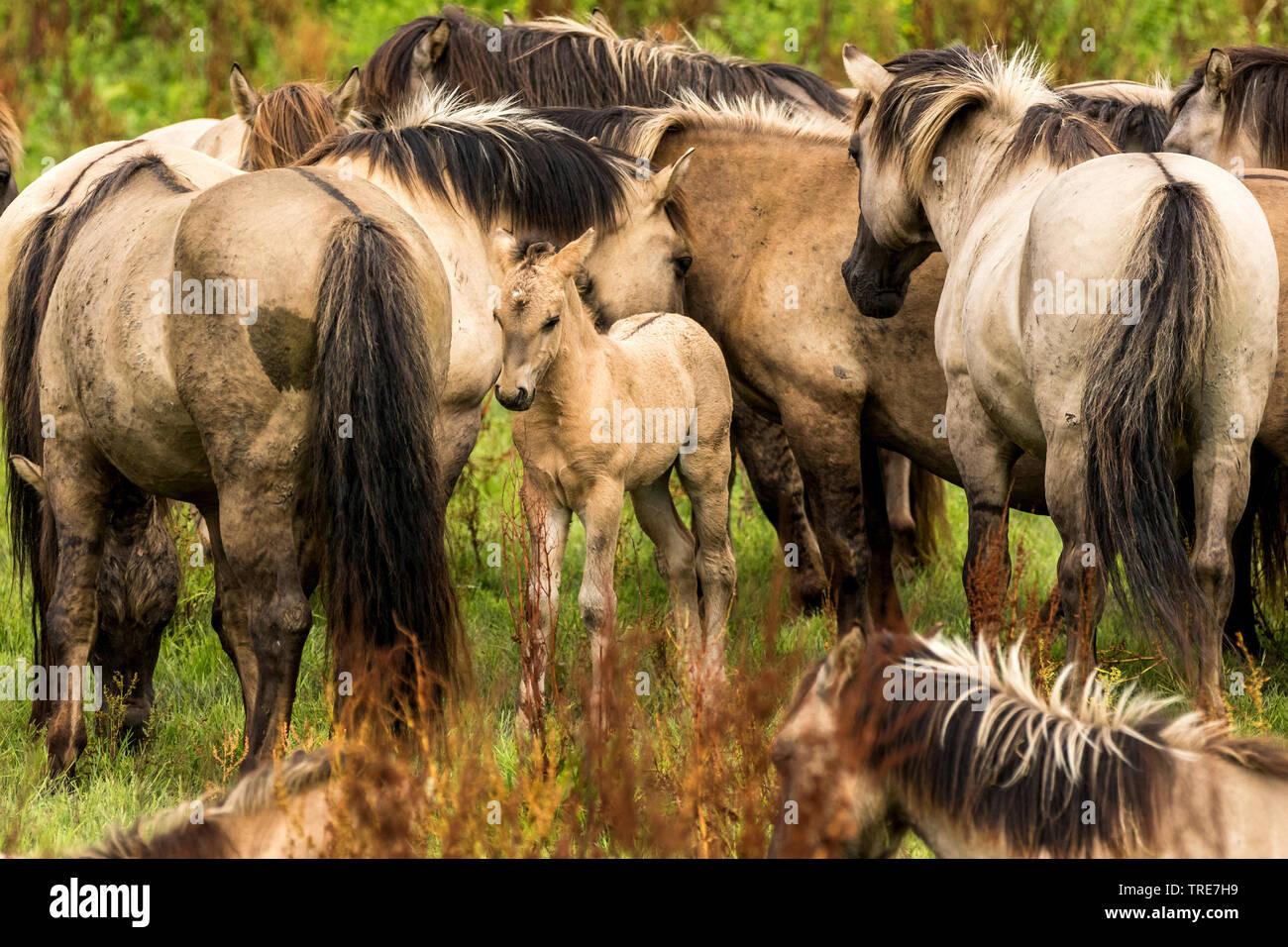 Konik, Konikpferd (Equus przewalskii f. caballus), Herde mit Fohlen, Niederlande, Flevoland, Oostvaardersplassen   Konik horse (Equus przewalskii f. c - Stock Image