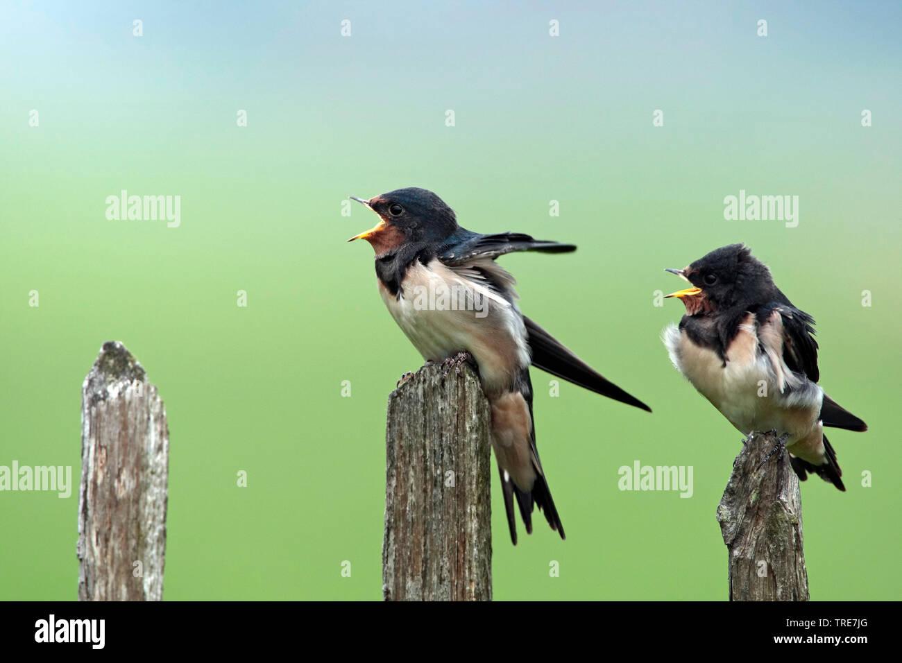 Rauchschwalbe, Rauch-Schwalbe (Hirundo rustica), Zwei junge Schwalben betteln um Futter, Niederlande | barn swallow (Hirundo rustica), two juveniles b - Stock Image