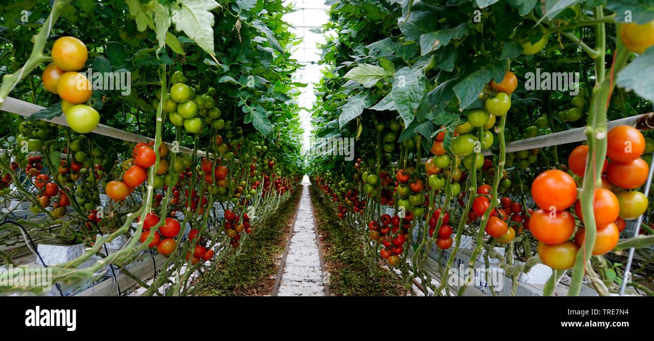 Tomate (Solanum lycopersicum, Lycopersicon esculentum), Treibhaus mit industrieller Tomaten-Produktion, Deutschland, Rheinland-Pfalz | garden tomato ( - Stock Image