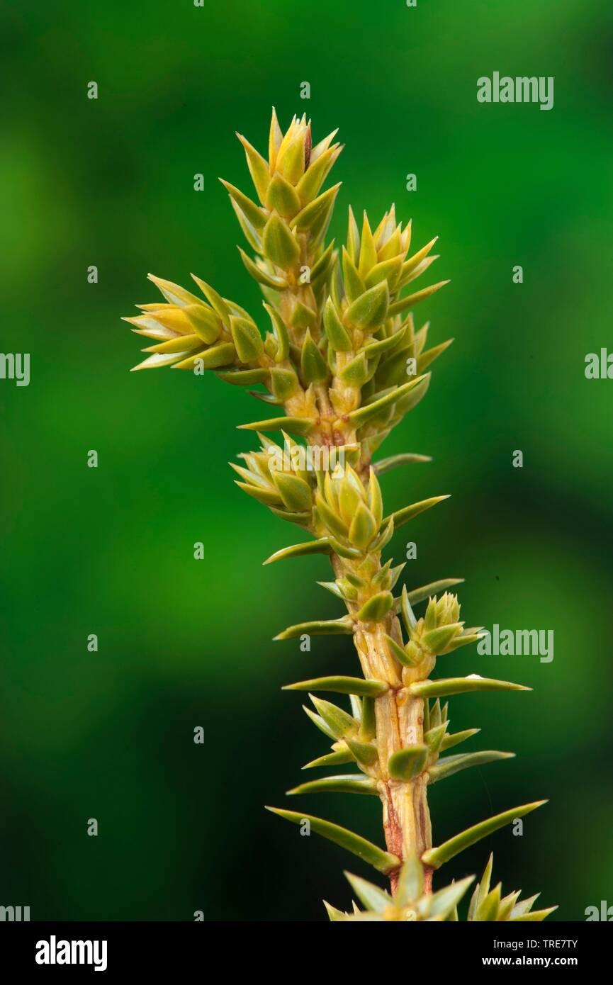Gemeiner Wacholder, Gewoehnlicher Wacholder, Heide-Wacholder, Heidewacholder (Juniperus communis), Triebspitzen des Wacholders  | Common juniper, Grou - Stock Image
