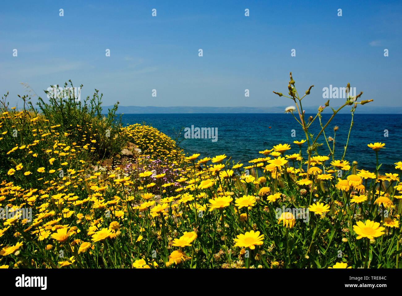 corn chrysanthemum, corn marigold (Chrysanthemum segetum, Glebionis segetum), blooming, Greece, Lesbos Stock Photo