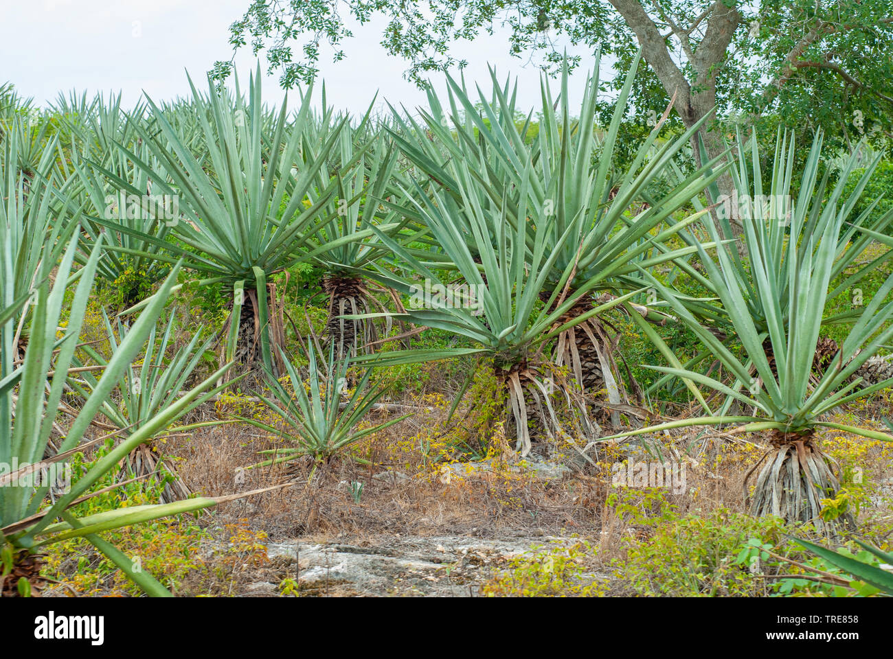 Agave plants, taken in the Tecoh plantations, in the Yucatan peninsula - Stock Image
