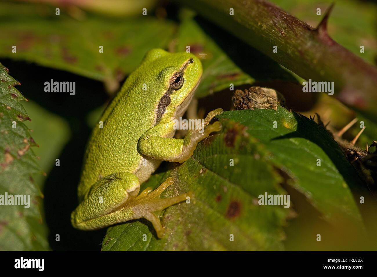 Europaeischer Laubfrosch (Hyla arborea), sitzt auf einem Blatt, Seitenansicht, Niederlande | European treefrog, common treefrog, Central European tree - Stock Image