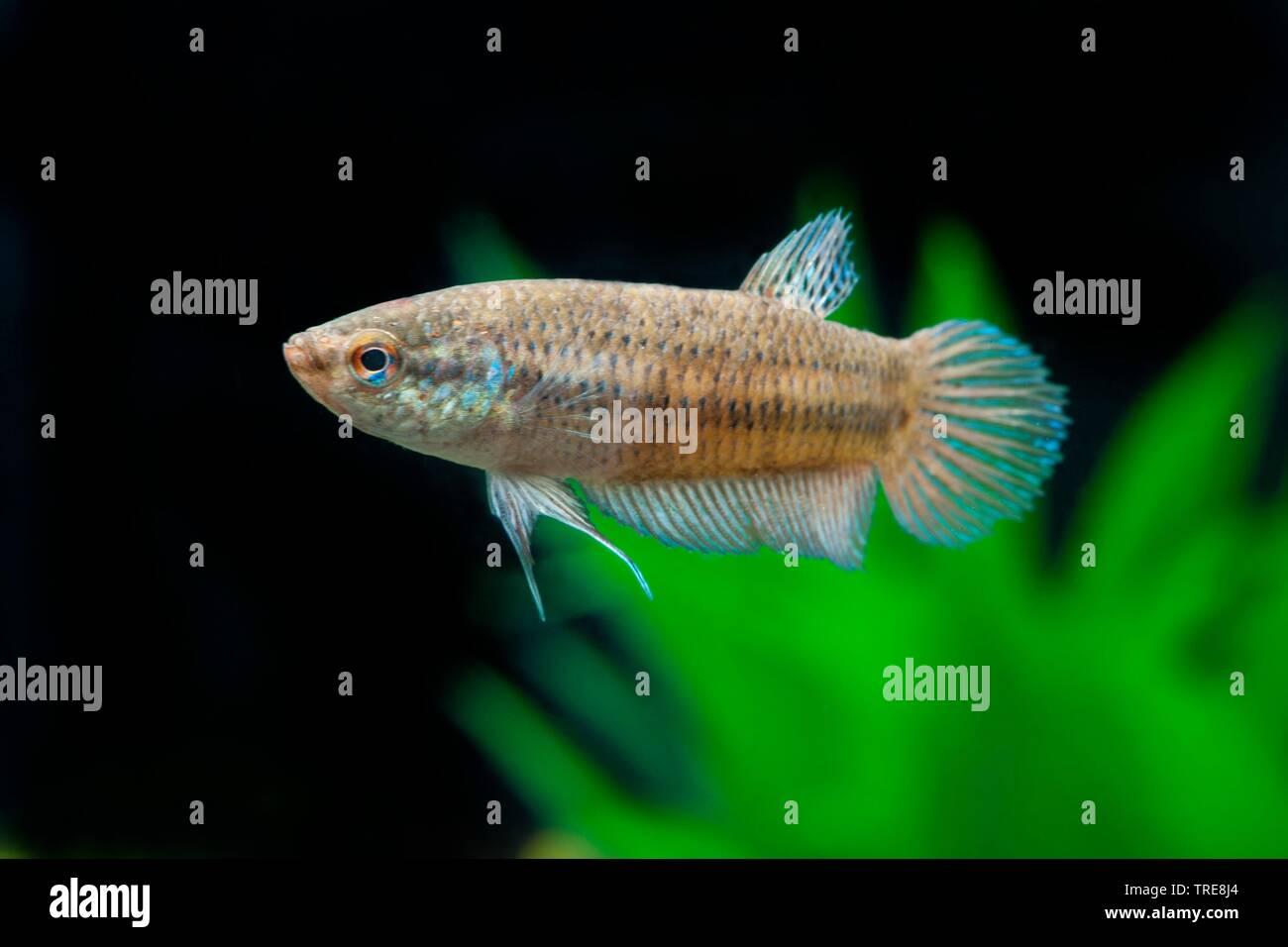 Smaragd-Kampffisch, Smaragdkampffisch (Betta smaragdina), im Aquarium | Peaceful Betta (Betta smaragdina), in aquarium | BLWS520048.jpg [ (c) blickwin - Stock Image