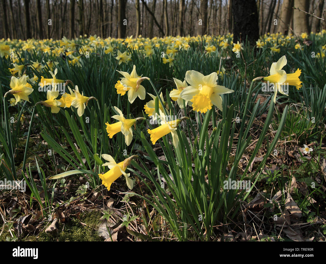 common daffodil (Narcissus pseudonarcissus), blooming wild daffodills in a forest, Netherlands Stock Photo