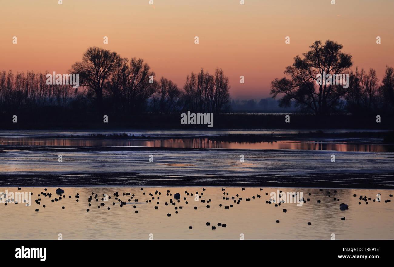 Krickente, Krick-Ente (Anas crecca), Vogelschwarm ruht morgens im seichten Wasser, Niederlande, De Biesbosch Nationalpark   green-winged teal (Anas cr - Stock Image
