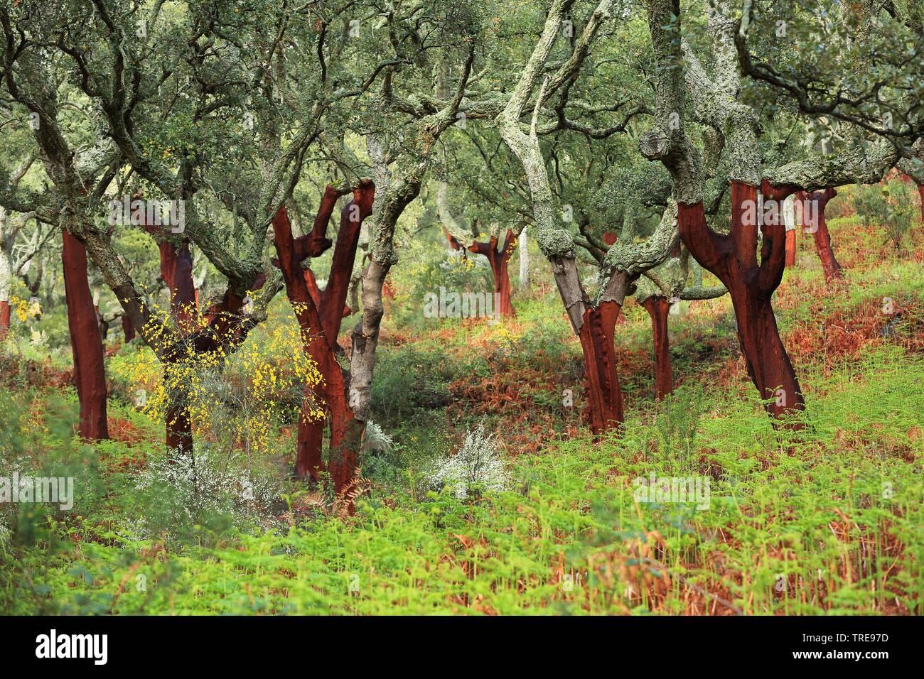 Korkeiche, Kork-Eiche (Quercus suber), Korkeichenwald, Spanien, Extremadura, Berzocana   cork oak (Quercus suber), cork oak forest, Spain, Extremadura - Stock Image