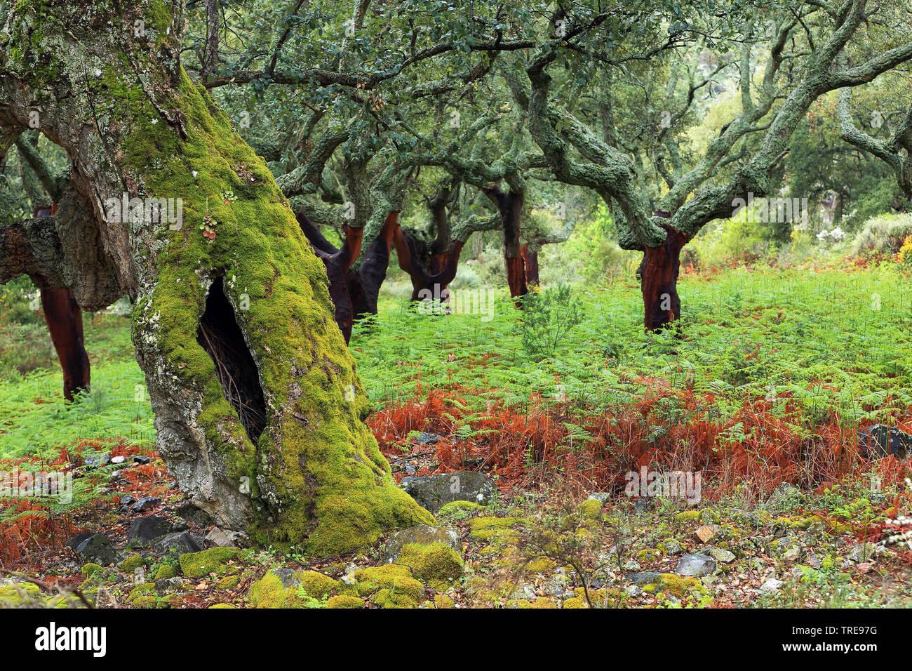 Korkeiche, Kork-Eiche (Quercus suber), Korkeichenwald mit Adlerfarn, Spanien, Extremadura, Berzocana   cork oak (Quercus suber), cork oak forest, Spai - Stock Image