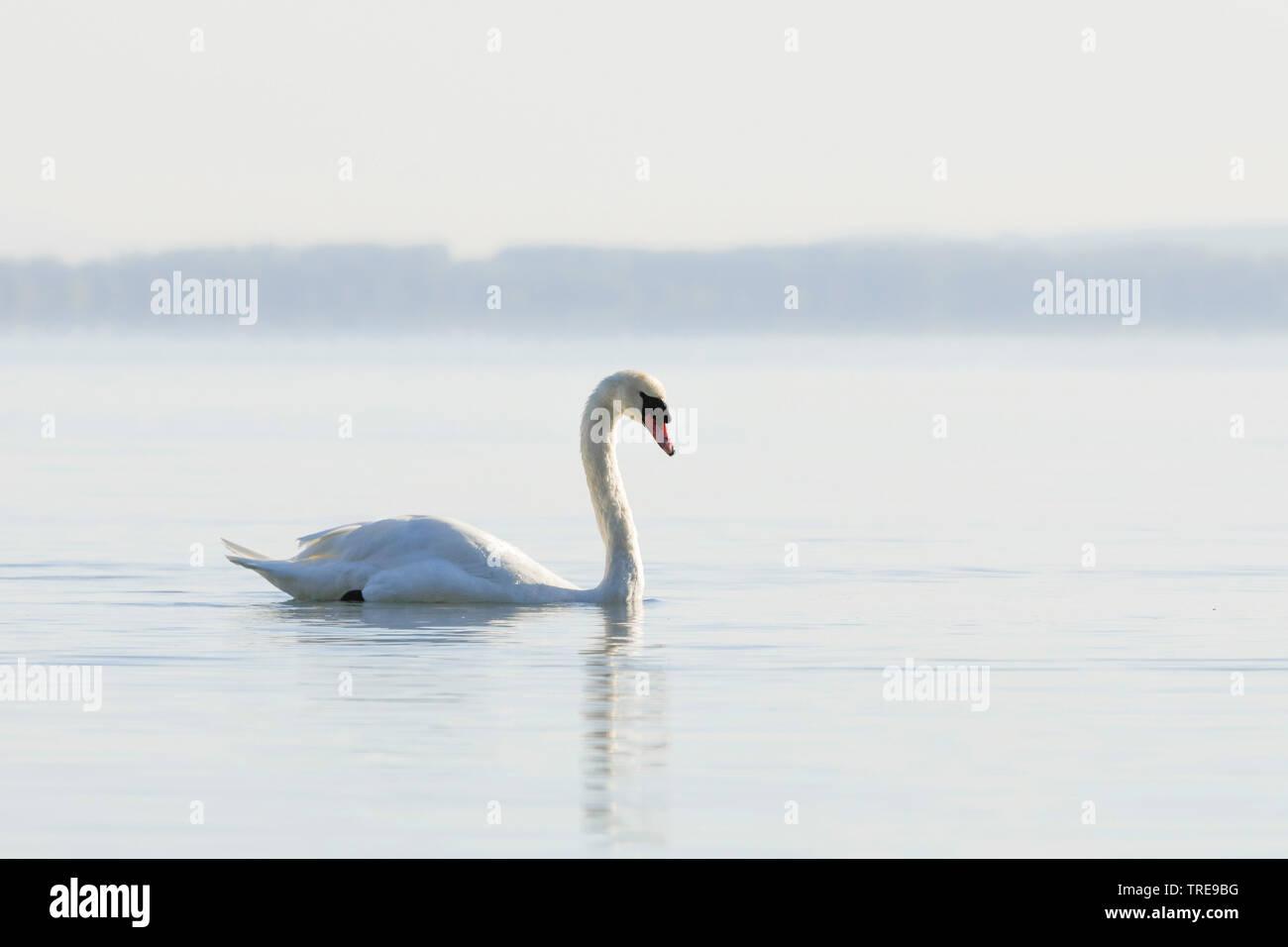 Hoeckerschwan, Hoecker-Schwan (Cygnus olor), schwimmend auf dem Murtensee, Schweiz   mute swan (Cygnus olor), swimming, Switzerland   BLWS520579.jpg [ - Stock Image