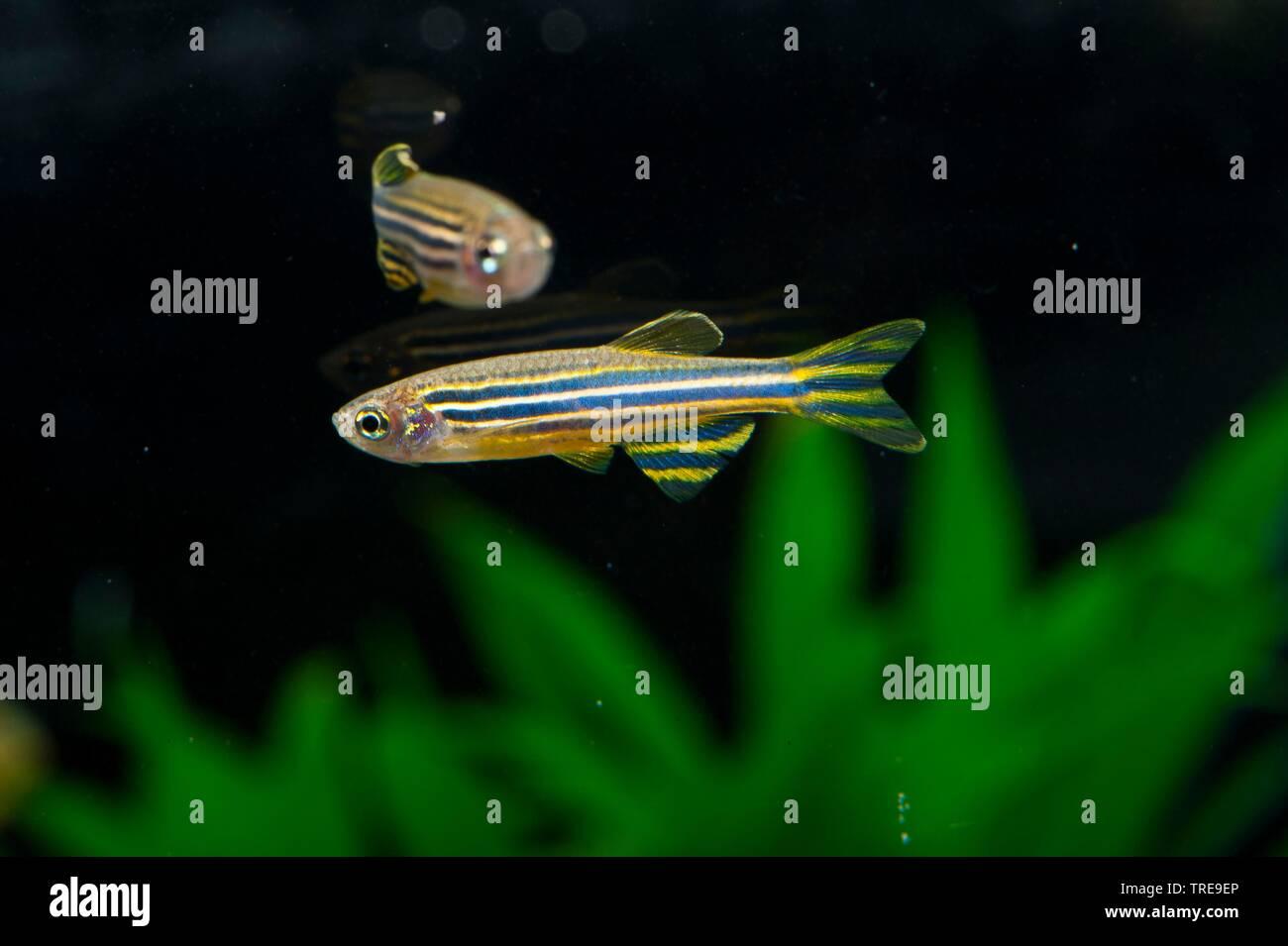 Zebra danio, Zebrafish (Brachydanio rerio, Danio rerio), swimming, side view Stock Photo