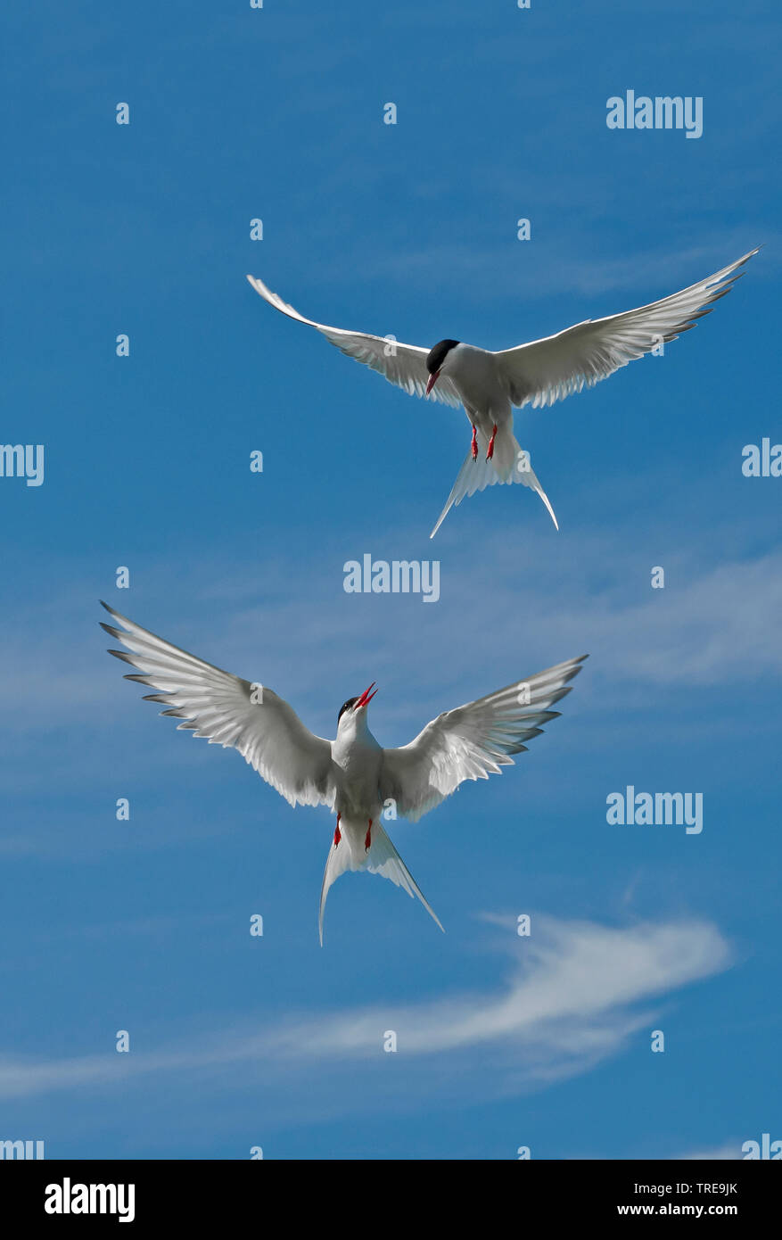 Kuestenseeschwalbe, Kuesten-Seeschwalbe (Sterna paradisaea), zwei Kuestenseeschwalben attackieren sich im Flug, Europa | arctic tern (Sterna paradisae - Stock Image