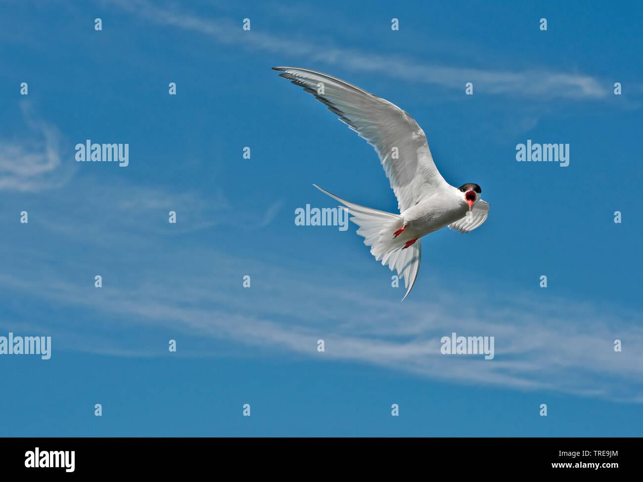 Kuestenseeschwalbe, Kuesten-Seeschwalbe (Sterna paradisaea), im Flug, rufend, Niederlande | arctic tern (Sterna paradisaea), in flight, calling, Nethe - Stock Image
