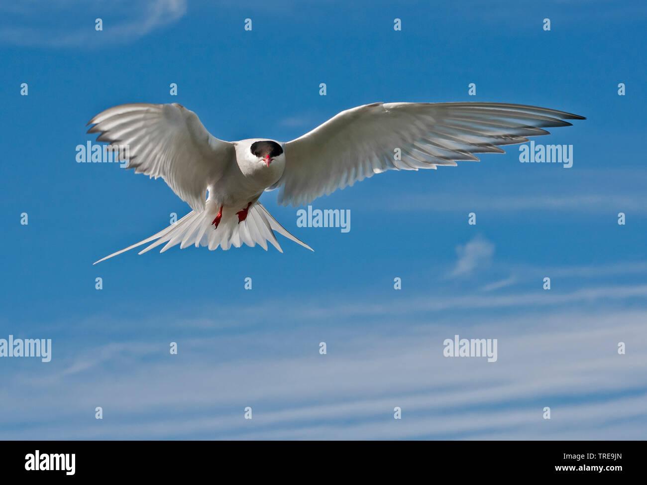 Kuestenseeschwalbe, Kuesten-Seeschwalbe (Sterna paradisaea), im Flug, Niederlande | arctic tern (Sterna paradisaea), in flight, Netherlands | BLWS5207 - Stock Image