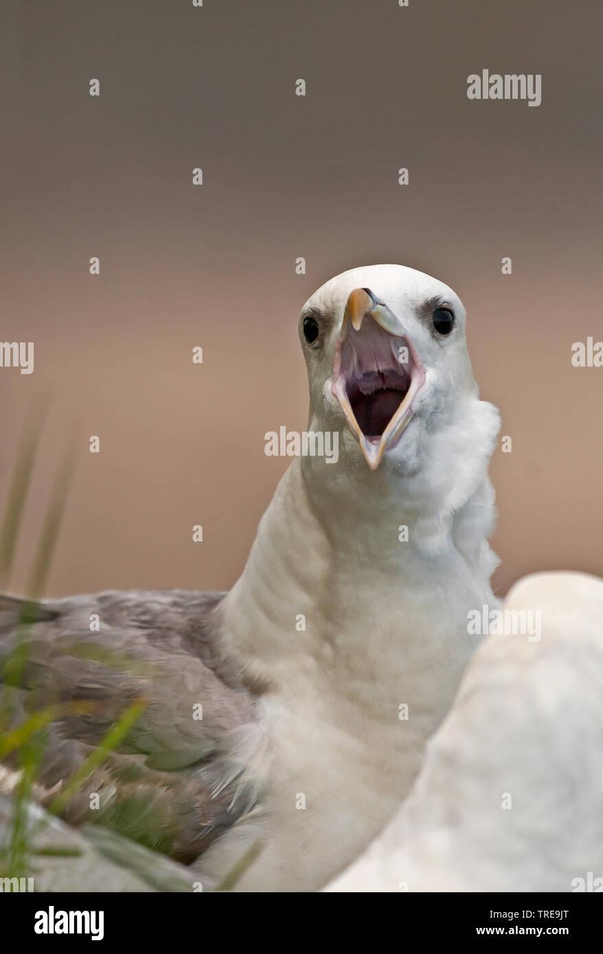 Eissturmvogel, Eis-Sturmvogel, Nordatlantischer Eissturmvogel (Fulmarus glacialis), rufend, Portraet, Grossbritannien, England | Northern fulmar, Arct - Stock Image