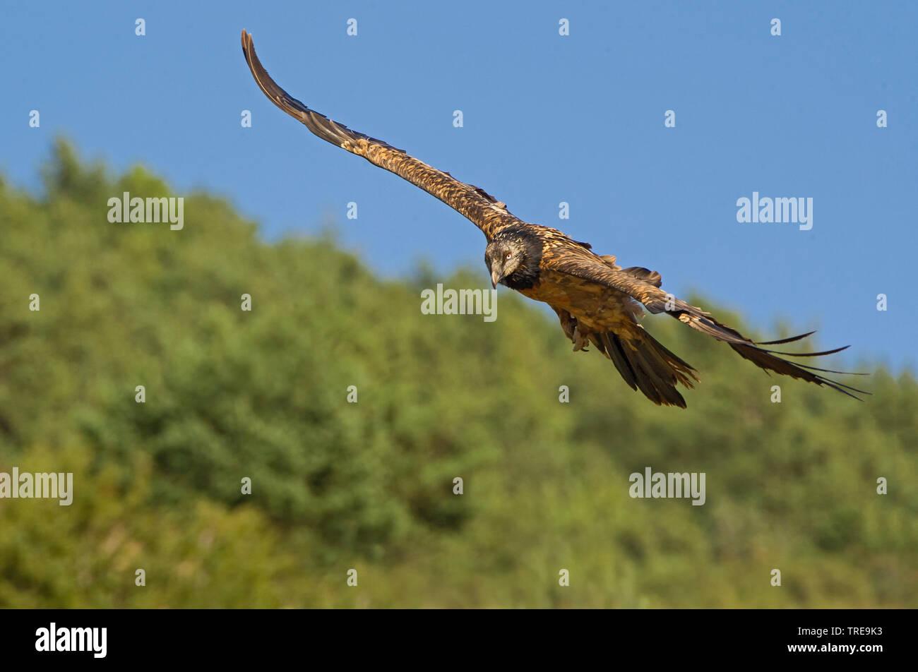 Bartgeier, Bart-Geier, Laemmergeier, Laemmer-Geier (Gypaetus barbatus), im Flug, Italien   Lammergeier, Bearded Vulture (Gypaetus barbatus), in flight - Stock Image