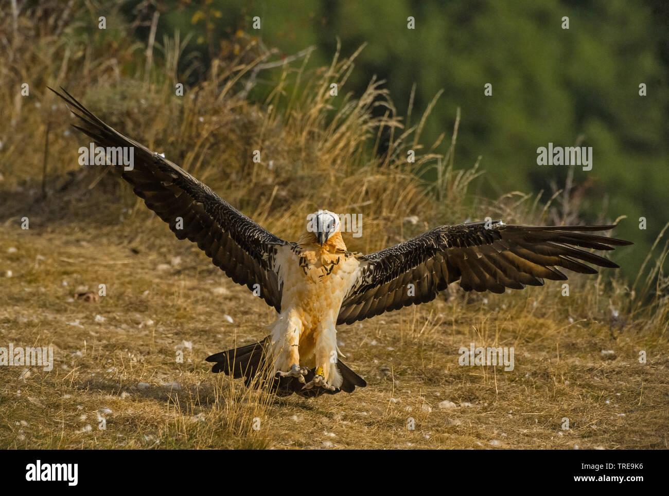 Bartgeier, Bart-Geier, Laemmergeier, Laemmer-Geier (Gypaetus barbatus), landend, Italien   Lammergeier, Bearded Vulture (Gypaetus barbatus), landing, - Stock Image