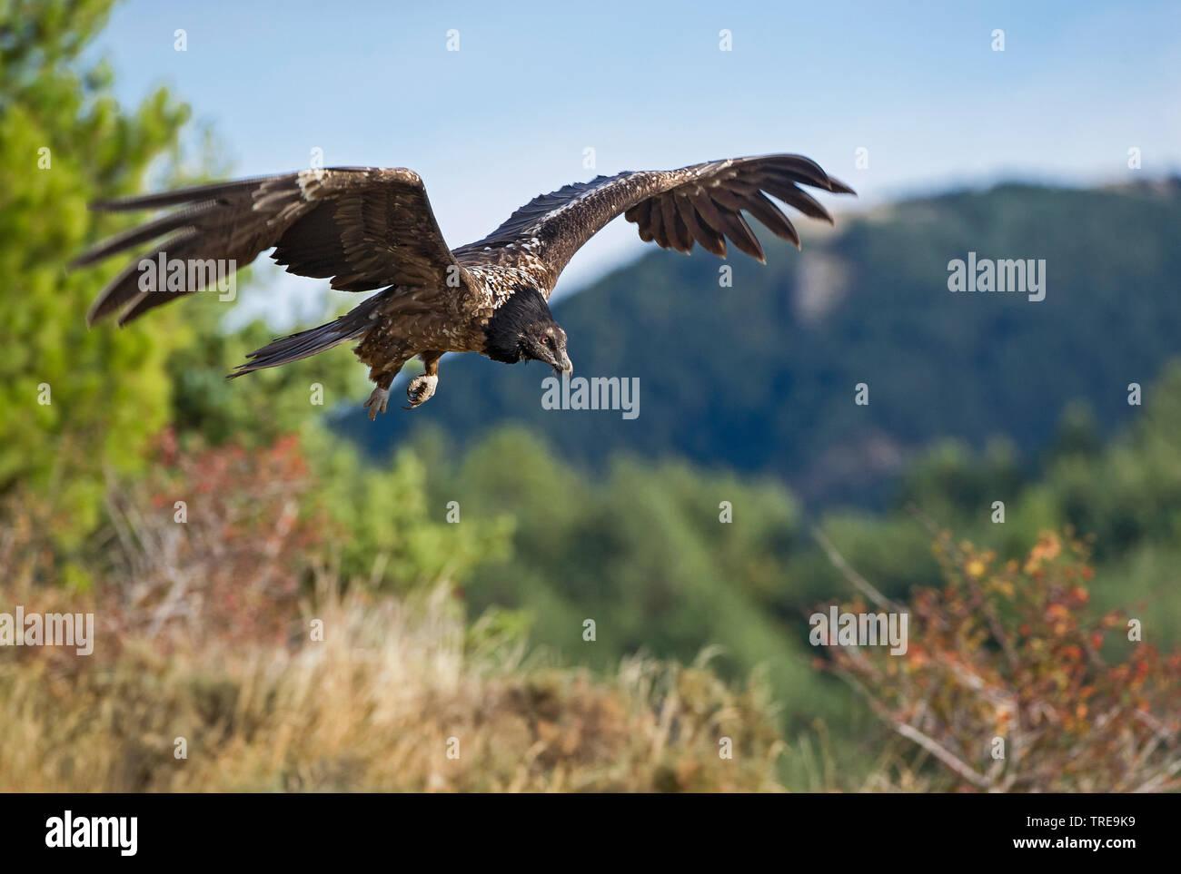 Bartgeier, Bart-Geier, Laemmergeier, Laemmer-Geier (Gypaetus barbatus), Jungvogel im Flug, Italien   Lammergeier, Bearded Vulture (Gypaetus barbatus), - Stock Image