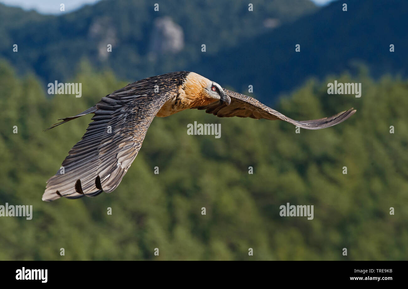 Bartgeier, Bart-Geier, Laemmergeier, Laemmer-Geier (Gypaetus barbatus), fliegend, Seitenansicht, Italien | Lammergeier, Bearded Vulture (Gypaetus barb - Stock Image