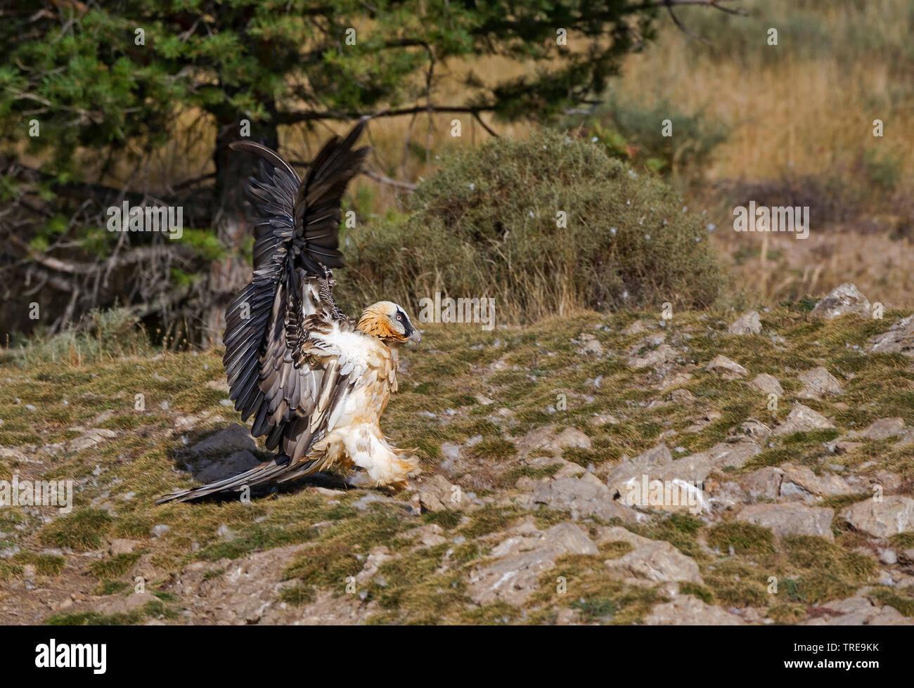 Bartgeier, Bart-Geier, Laemmergeier, Laemmer-Geier (Gypaetus barbatus), Jungvogel, Italien | Lammergeier, Bearded Vulture (Gypaetus barbatus), juvenil - Stock Image