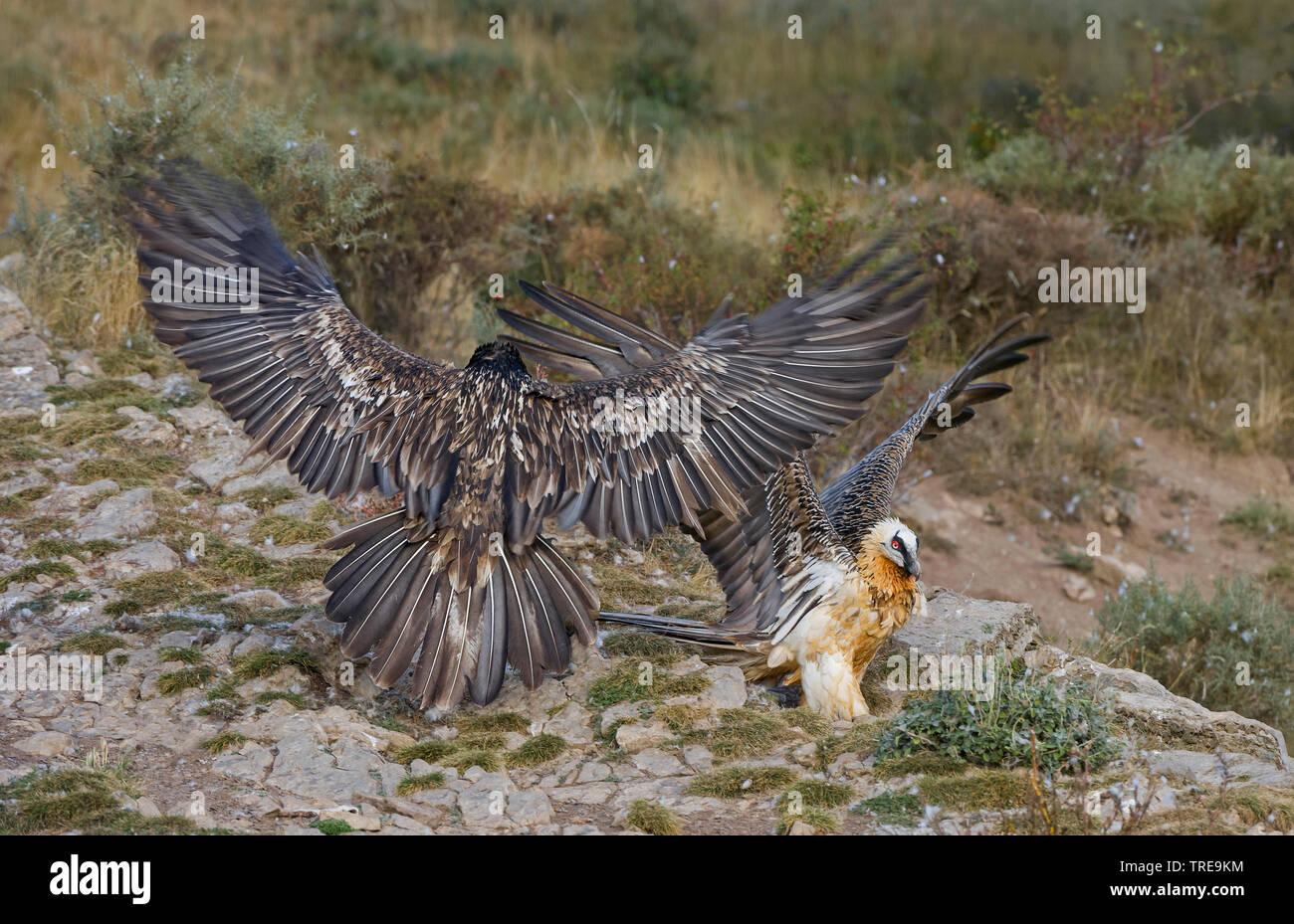 Bartgeier, Bart-Geier, Laemmergeier, Laemmer-Geier (Gypaetus barbatus), zwei Altvoegel, Italien | Lammergeier, Bearded Vulture (Gypaetus barbatus), tw - Stock Image