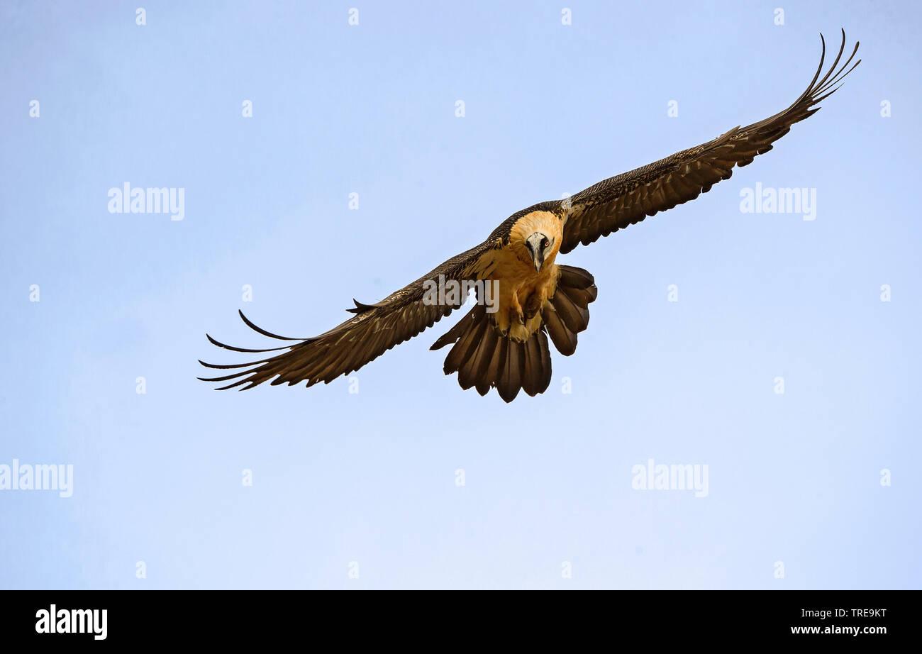 Bartgeier, Bart-Geier, Laemmergeier, Laemmer-Geier (Gypaetus barbatus), Altvogel im Flug, Italien | Lammergeier, Bearded Vulture (Gypaetus barbatus), - Stock Image