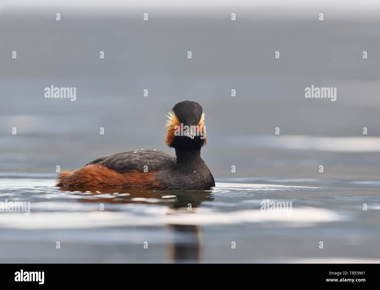 Schwarzhalstaucher, Schwarzhals-Taucher (Podiceps nigricollis), schwimmt im Sommerkleid, Italien | black-necked grebe (Podiceps nigricollis), swimming - Stock Image