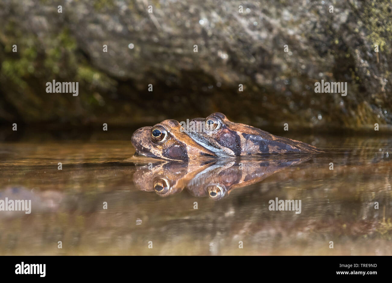 Grasfrosch, Gras-Frosch (Rana temporaria), Paar im Laichgewaesser, Italien | common frog, grass frog (Rana temporaria), couple in spawning water, Ital - Stock Image