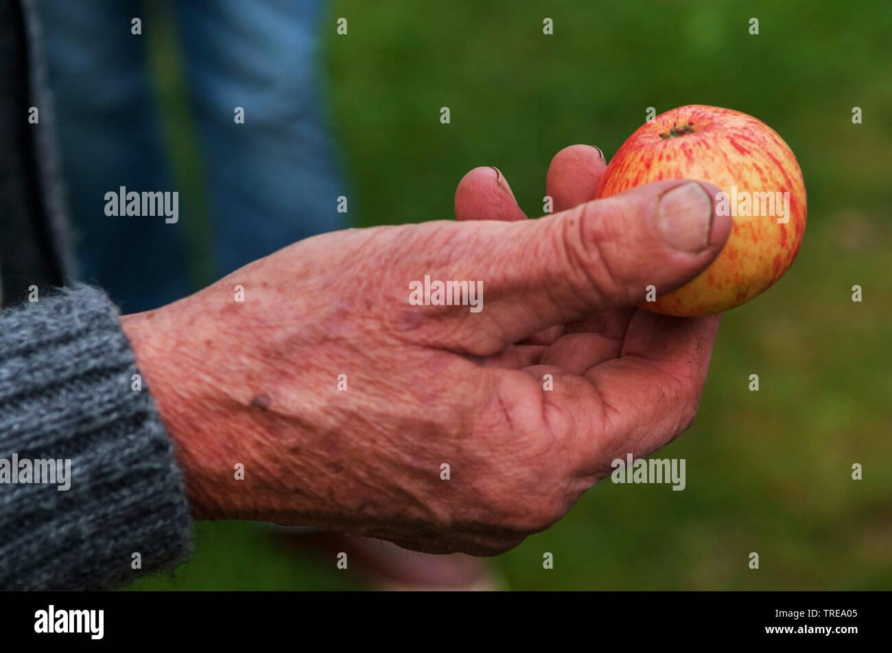verschiedene Obstsorten werden in einer Plantage vorgestellt, Deutschland, Schleswig-Holstein   different apple cultivars are presented, Germany, Schl - Stock Image