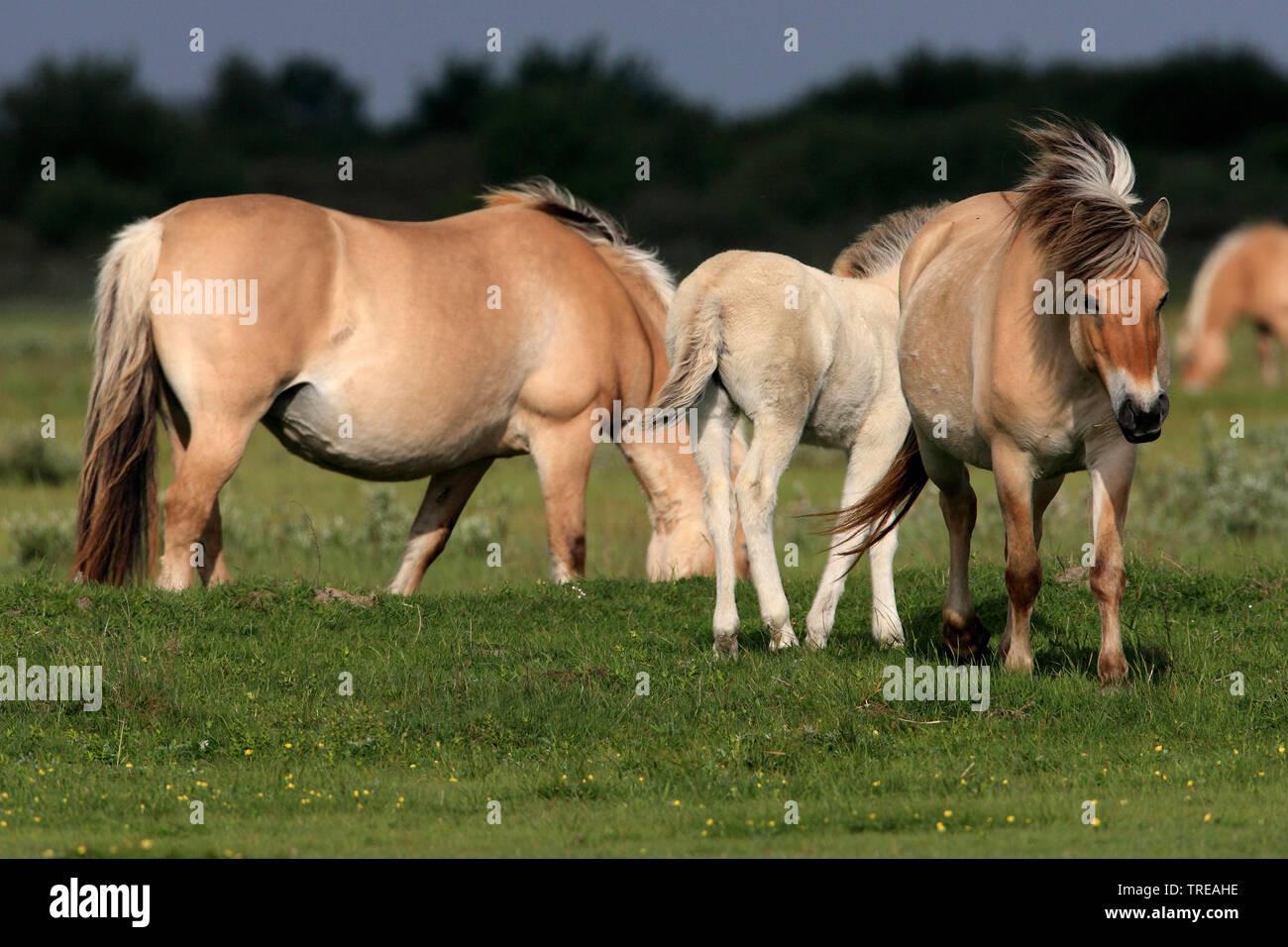 Norwegisches Fjordpferd, Norweger, Fjordpferd, Fjordpony (Equus przewalskii f. caballus), Fjordpferdstuten mit einem Fohlen auf einer Weide, Niederlan - Stock Image
