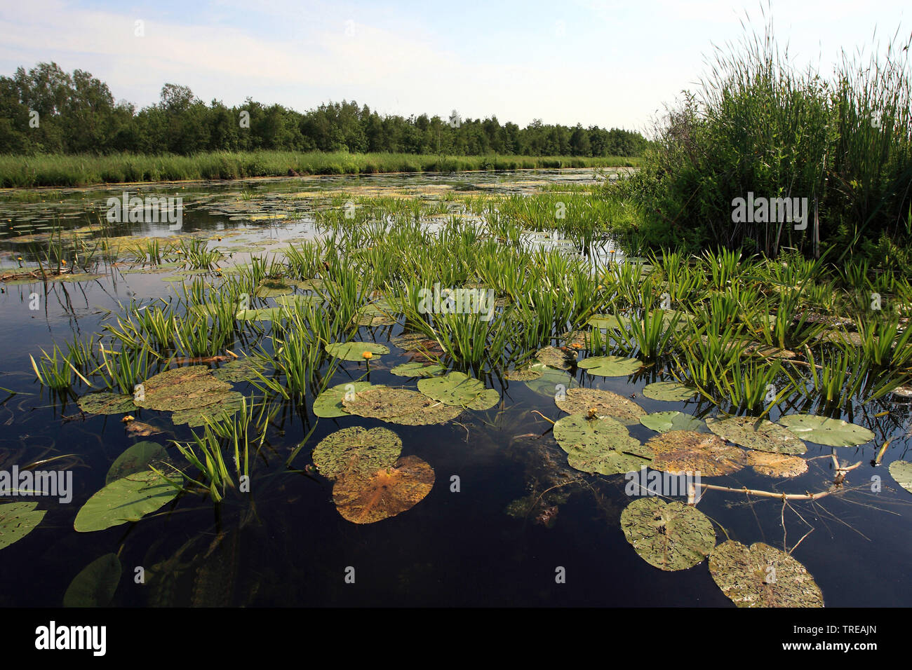 crab's-claw, water-soldier (Stratiotes aloides), on water with waterlilies, Netherlands, Overijssel, Weerribben-Wieden National Park Stock Photo