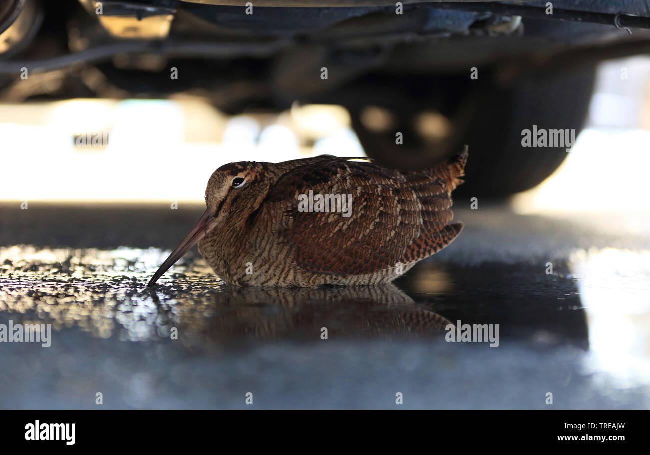 Waldschnepfe (Scolopax rusticola), Schutz suchend unter einem Auto, Seitenansicht, Niederlande | Eurasian woodcock (Scolopax rusticola), taking shelte - Stock Image