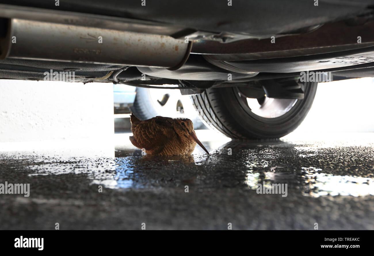 Waldschnepfe (Scolopax rusticola), Schutz suchend unter einem Auto, Niederlande | Eurasian woodcock (Scolopax rusticola), taking shelter under a car, - Stock Image