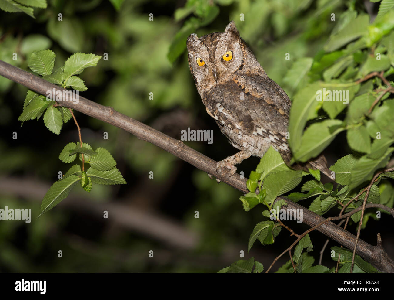 Eurasian scops owl (Otus scops), on a tree at night, Italy Stock Photo