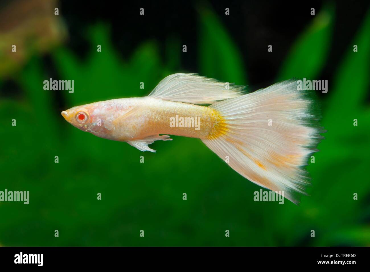 Platinum Fish High Resolution Stock Photography And Images Alamy