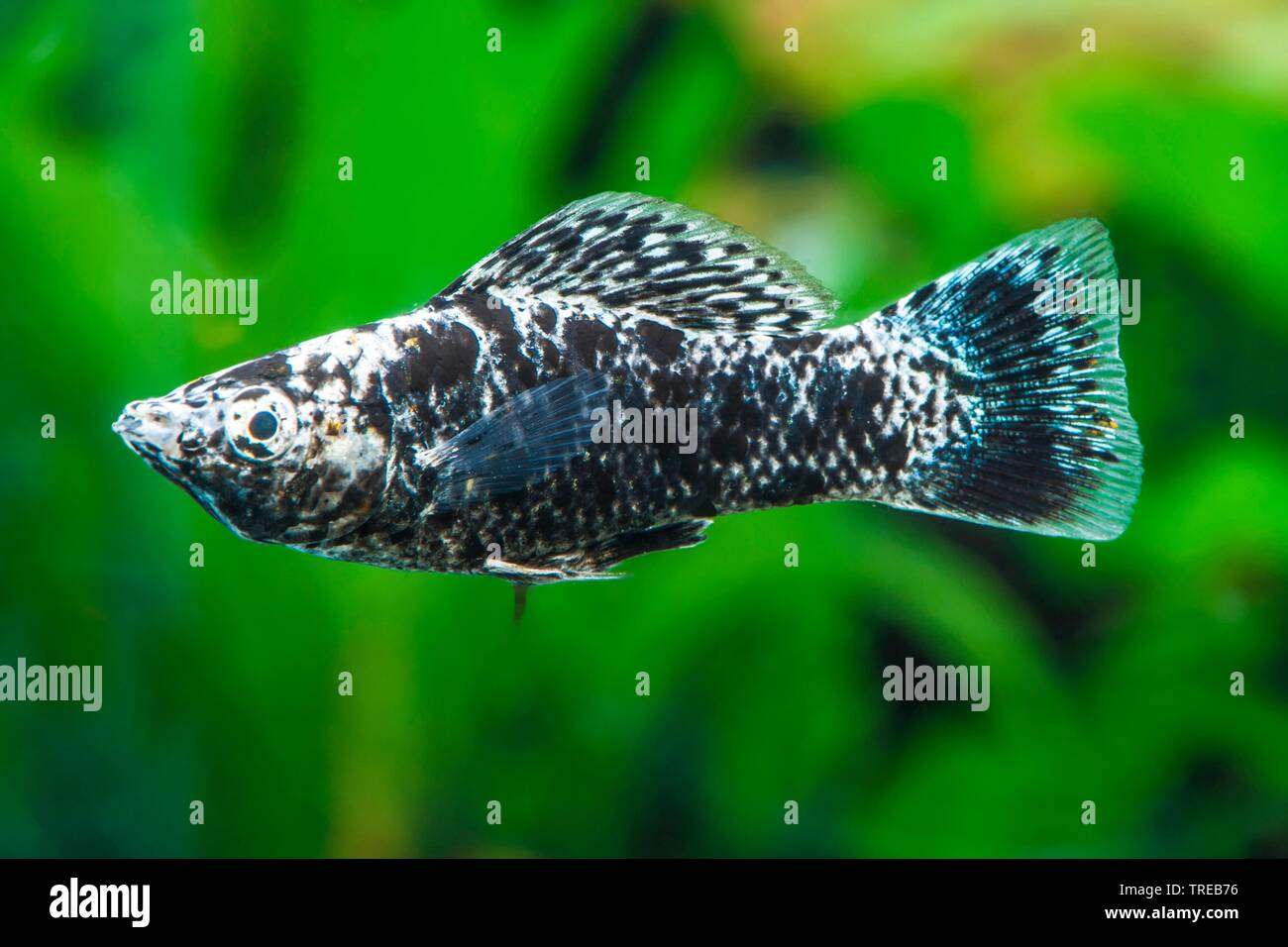 Mexican Molly, Marbled molly, Liberty Molly (Poecilia sphenops, Mollienesia sphenops), swimming, side view Stock Photo