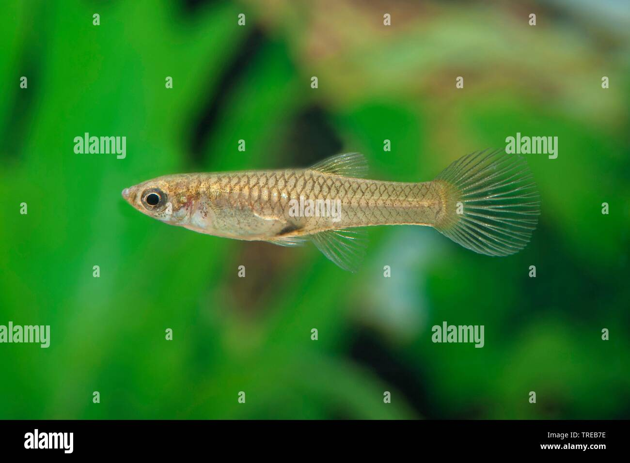 Endlers Guppy (Poecilia wingei), Zuchtform Rio Oro | Endler's guppy, Endler's livebearer, Dovermolly (Poecilia wingei), breeding form Rio Oro | BLWS52 - Stock Image