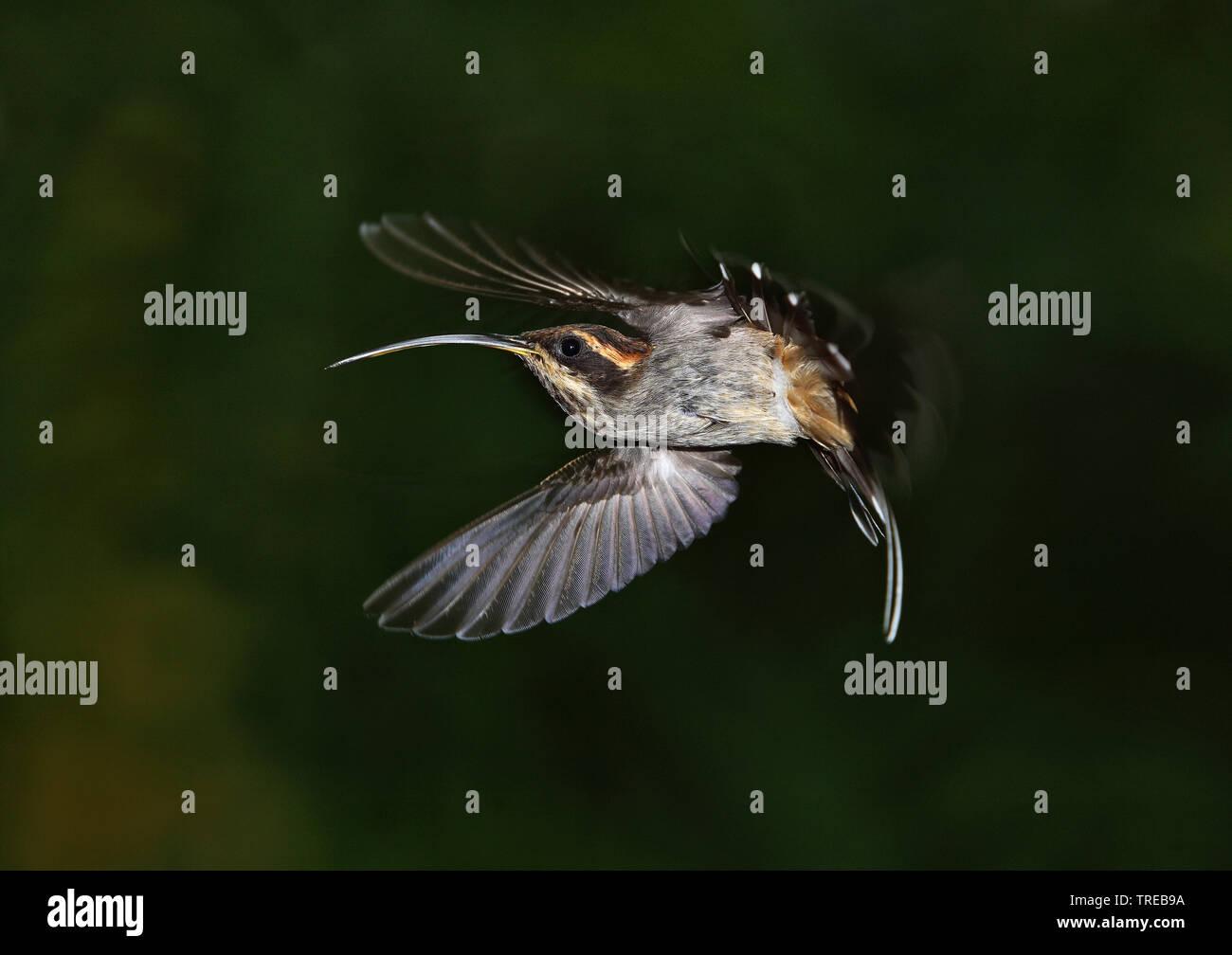 scale-throated hermit (Phaethornis eurynome eurynome), in flight, Brazil Stock Photo