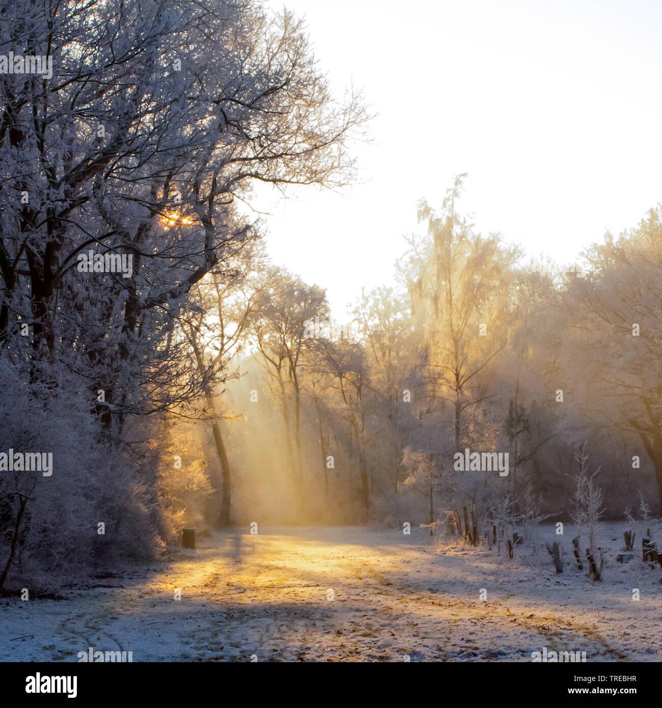 Sonnenstrahlen im schneebedeckten Winterwald, Niederlande, Katwijk | sun shines through winter white forest, Netherlands, Katwijk | BLWS522226.jpg [ ( - Stock Image