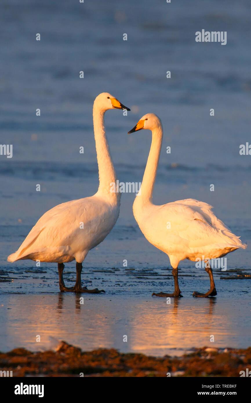 Singschwan, Sing-Schwan (Cygnus cygnus), zwei Singschwaene im Abendlicht, Deutschland, Niedersachsen | whooper swan (Cygnus cygnus), in evening light, - Stock Image