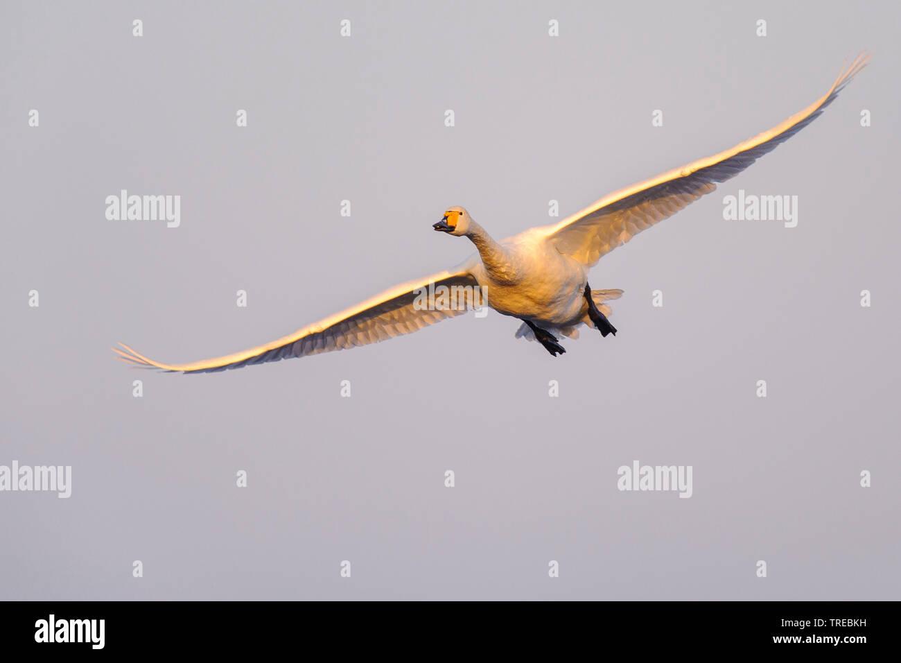 Singschwan, Sing-Schwan (Cygnus cygnus), im Flug, Deutschland, Niedersachsen | whooper swan (Cygnus cygnus), in flight, Germany, Lower Saxony | BLWS52 - Stock Image