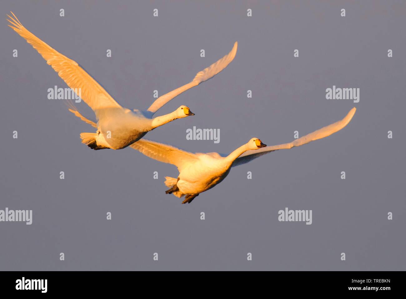 Singschwan, Sing-Schwan (Cygnus cygnus), zwei Singschwaene im Flug im Abendlicht, Deutschland, Niedersachsen | whooper swan (Cygnus cygnus), in evenin - Stock Image