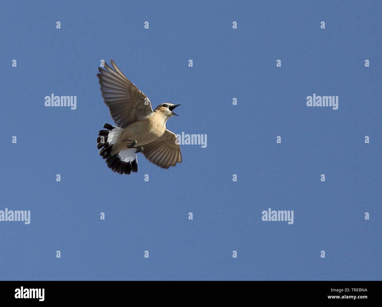 Isabellsteinschmaetzer, Isabell-Steinschmaetzer (Oenanthe isabellina), Maennchen im Singflug, Usbekistan | isabelline wheatear (Oenanthe isabellina), - Stock Image