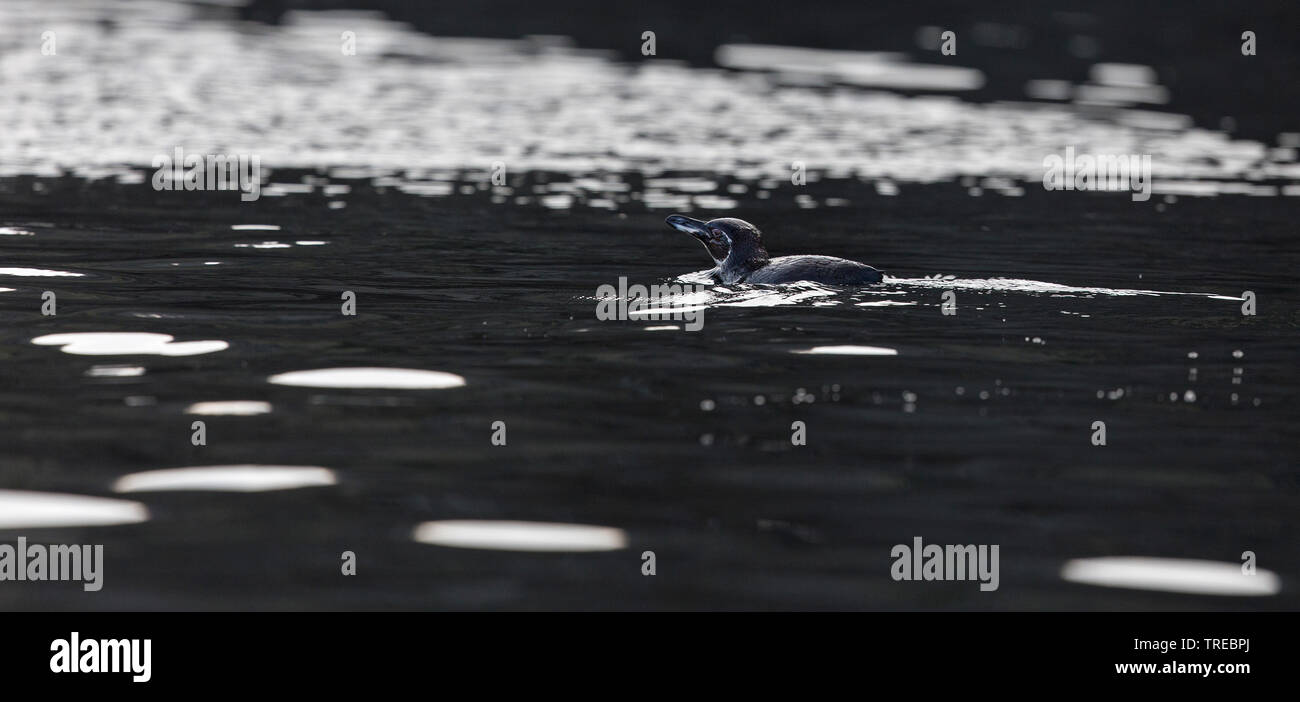 Galapagospinguin, Galapagos-Pinguin (Spheniscus mendiculus), schwimmend, Ecuador, Galapagos-Inseln | Galapagos penguin (Spheniscus mendiculus), swimmi - Stock Image