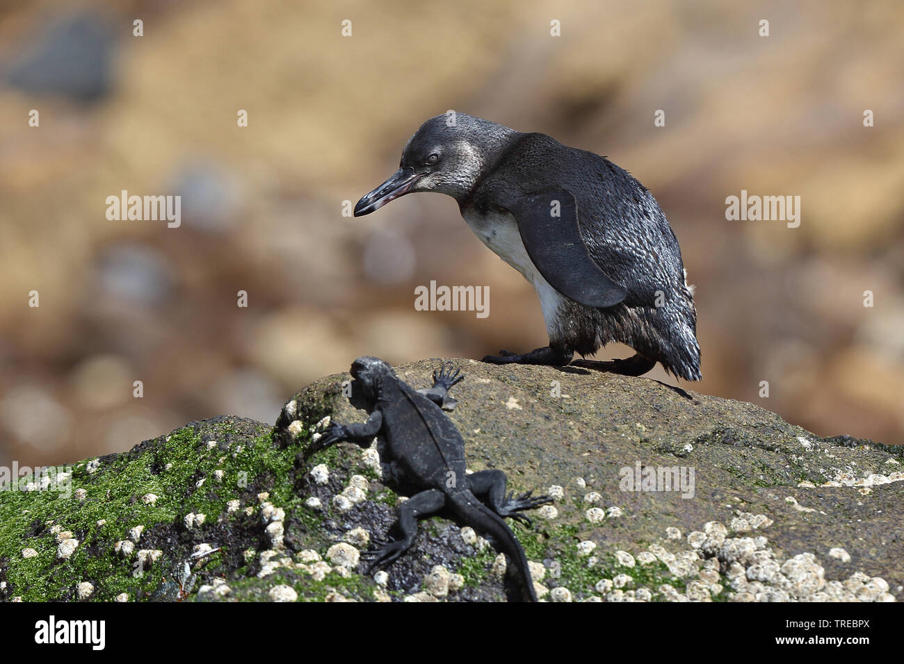 Galapagos penguin (Spheniscus mendiculus), juvenile at the rocky coast with marine iguanas, Ecuador, Galapagos Islands Stock Photo