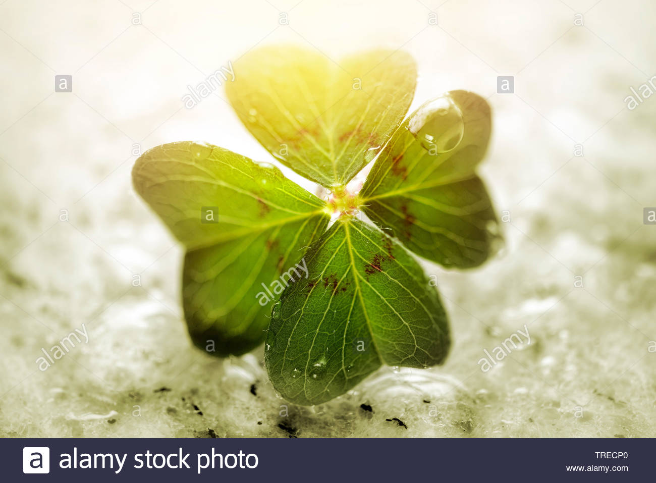 four-leafed clover (Oxalis tetraphylla, Oxalis deppei), Iron Cross, lucky clover, Germany Stock Photo