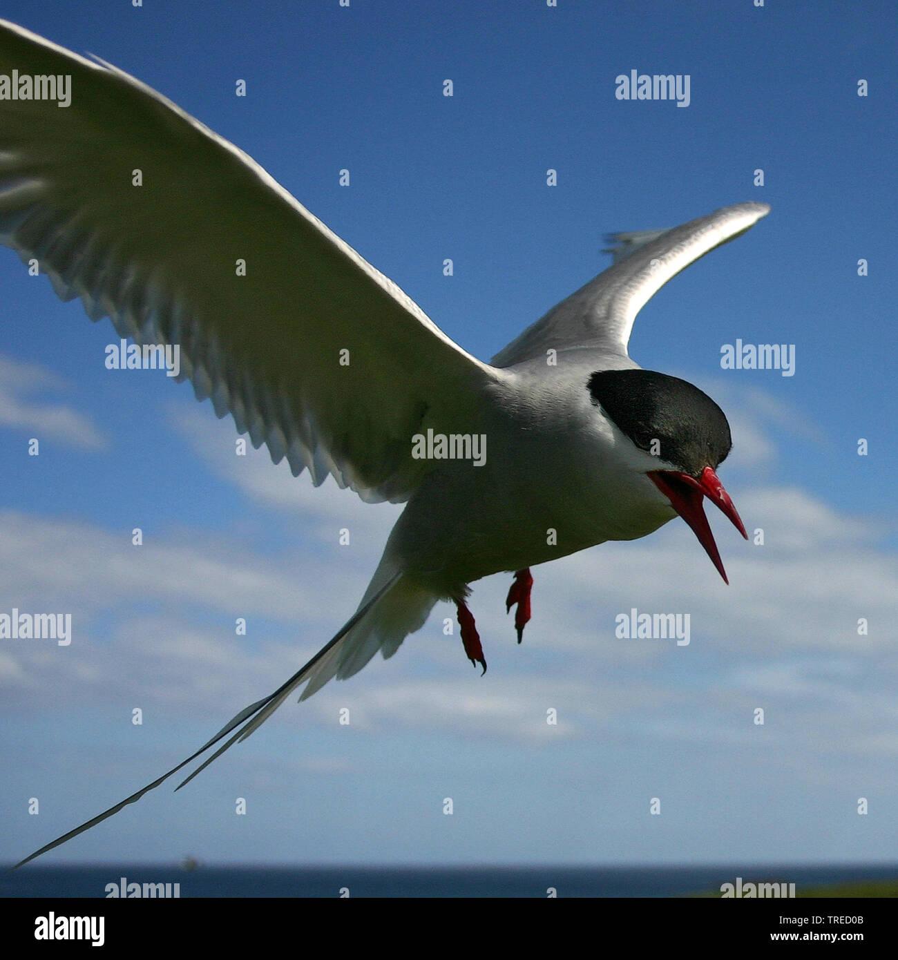 Kuestenseeschwalbe, Kuesten-Seeschwalbe (Sterna paradisaea), im Flug am Himmel, Grossbritannien, England, Northumberland, Farne Islands | arctic tern - Stock Image