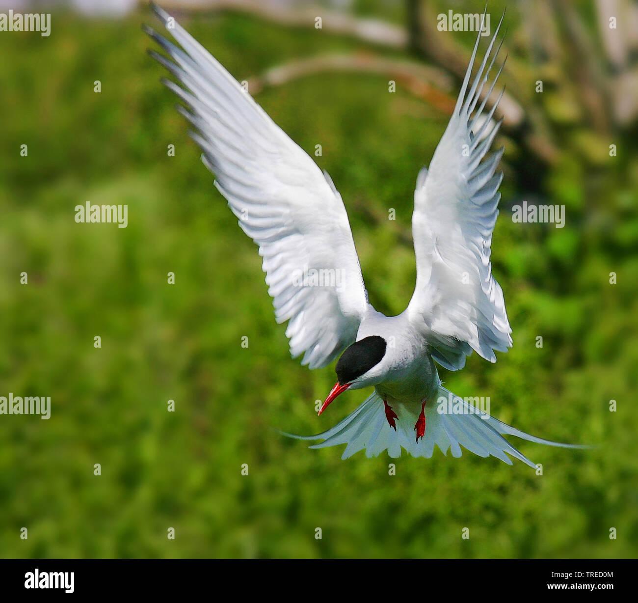 Kuestenseeschwalbe, Kuesten-Seeschwalbe (Sterna paradisaea), im Flug, Vorderansicht, Grossbritannien, England, Northumberland, Farne Islands | arctic - Stock Image