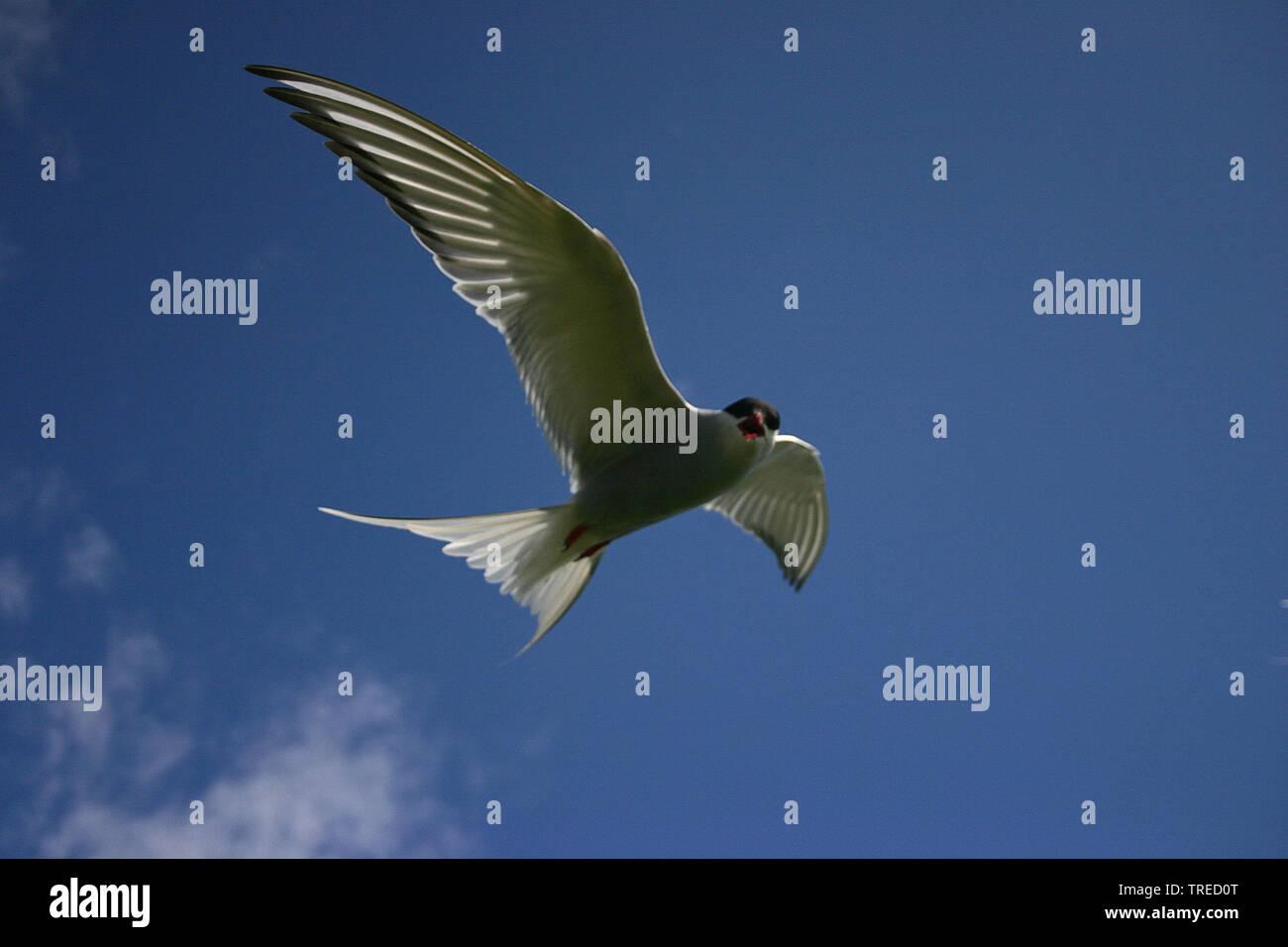 Kuestenseeschwalbe, Kuesten-Seeschwalbe (Sterna paradisaea), im Flug am blauen Himmel, Grossbritannien, England, Northumberland, Farne Islands | arcti - Stock Image