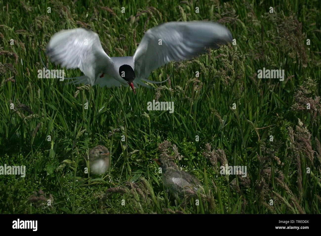 Kuestenseeschwalbe, Kuesten-Seeschwalbe (Sterna paradisaea), fliegend am Nest mit Kueken, Grossbritannien, England, Northumberland, Farne Islands | ar - Stock Image
