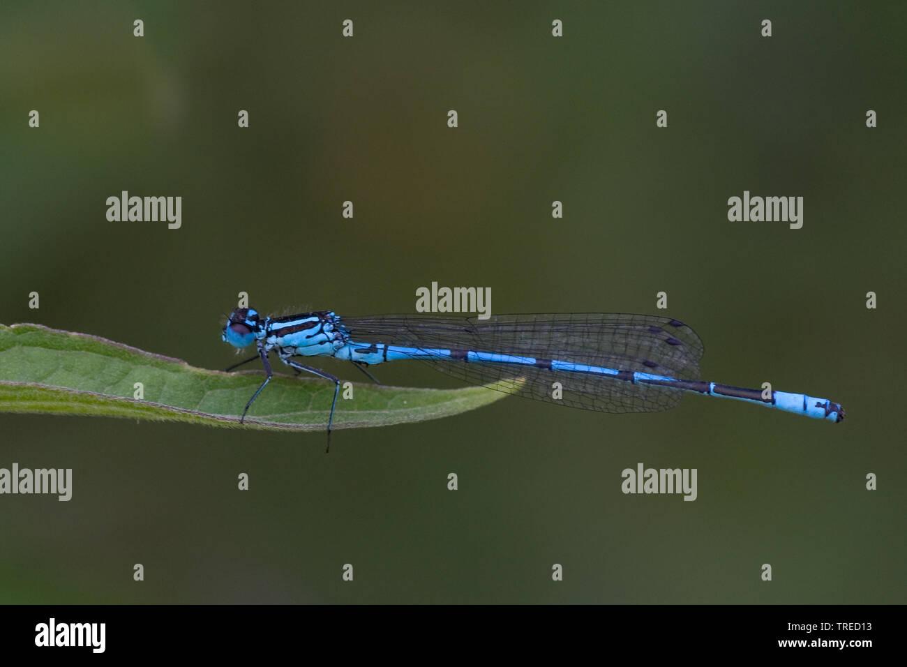 Hufeisen-Azurjungfer, Hufeisenazurjungfer (Coenagrion puella), Maennchen sitzt auf einem Blatt, Seitenansicht, Niederlande | Common coenagrion, Azure - Stock Image